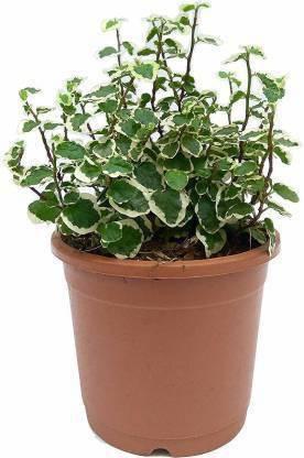 ILaviz Ficus PlantPack of 1