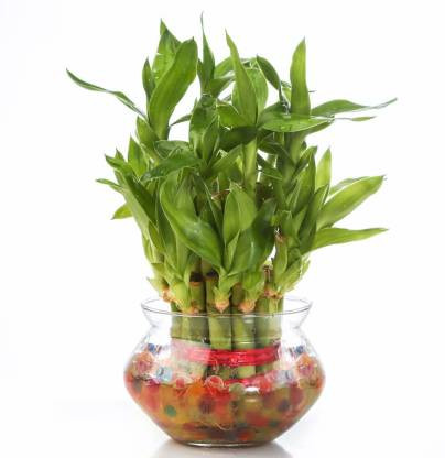 ILaviz Two Layer Bamboo Plant Pack Of 1
