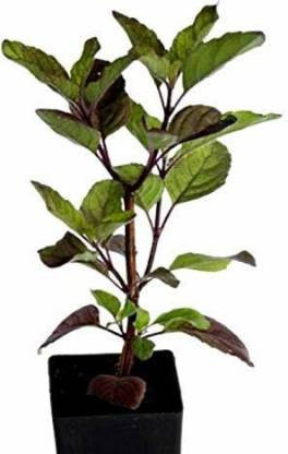 ILaviz Vana TUlsi Plant Pack Of 1