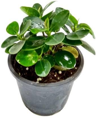ILaviz Ficus Plant HydribPack of 1